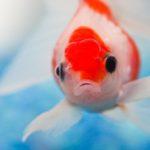 有力メディアで紹介された「ヒトと金魚の注意力の研究」がウソである可能性について