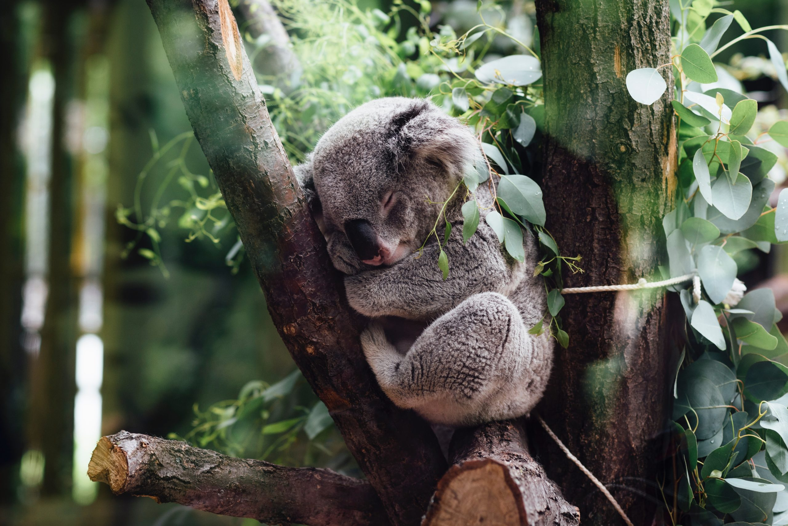 眠っているコアラの画像